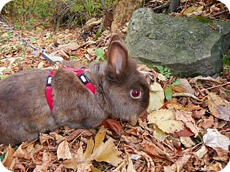 Lionhead Mix for adoption in North Gower, Ontario - Nate