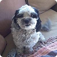 Adopt A Pet :: Noel - Gilbert, AZ