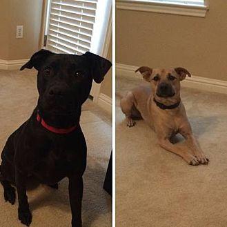 Labrador Retriever/Shepherd (Unknown Type) Mix Dog for adoption in Austin, Texas - Charlie & Pete