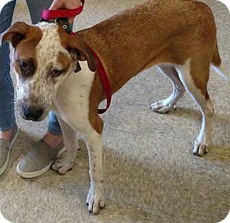 Pointer/Australian Shepherd Mix Dog for adoption in Houston, Texas - Freckles