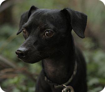 Miniature Pinscher/Dachshund Mix Dog for adoption in Encino, California - Blackie
