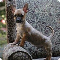Adopt A Pet :: Presley - Greeley, CO