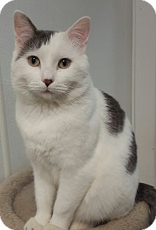 Domestic Shorthair Cat for adoption in Hawk Point, Missouri - Baby King