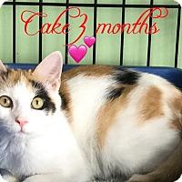 Adopt A Pet :: Cake - Island Park, NY