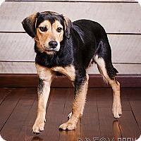Beagle/Shepherd (Unknown Type) Mix Dog for adoption in Owensboro, Kentucky - Carl