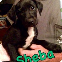 Adopt A Pet :: Sheba - Royal Palm Beach, FL