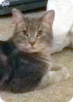Domestic Shorthair Cat for adoption in Toledo, Ohio - Grey