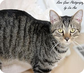 Domestic Shorthair Cat for adoption in Flora, Illinois - Hank