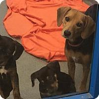 Adopt A Pet :: Andi B - Fairfax Station, VA