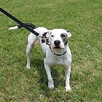 American Pit Bull Terrier Mix Dog for adoption in Houston, Texas - Elsie