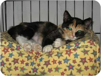 Domestic Shorthair Kitten for adoption in Wakinsville, Georgia - Lady