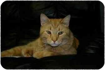 American Shorthair Cat for adoption in Lake Ronkonkoma, New York - Oliver