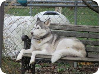 Husky Dog for adoption in Belleville, Michigan - Xena--Pending!