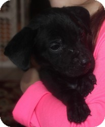 Labrador Retriever Mix Puppy for adoption in Marlton, New Jersey - Baby Baxter