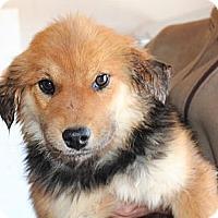 Adopt A Pet :: Praline Pecan - Kittery, ME
