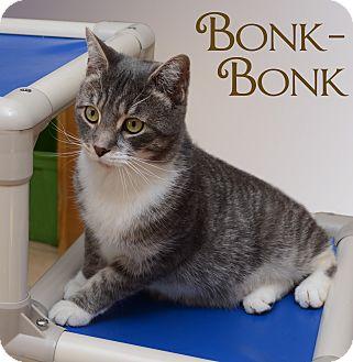 Domestic Shorthair Cat for adoption in Middletown, New York - Bonk Bonk