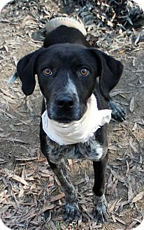 Border Collie/Labrador Retriever Mix Dog for adoption in Memphis, Tennessee - Percy
