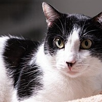 Balinese Cat for adoption in Houston, Texas - Billy