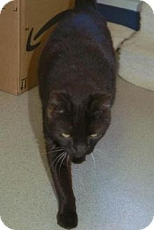 American Shorthair Cat for adoption in Englewood, Florida - Charlie