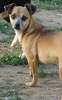 Chihuahua Dog for adoption in Pipe Creek, Texas - Chevy