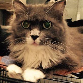 Domestic Longhair Cat for adoption in Montreal, Quebec - Alia