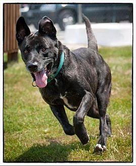 German Shepherd Dog Dog for adoption in Freeport, New York - Lucky