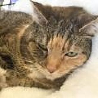 Domestic Shorthair Cat for adoption in Stafford, Virginia - Melinda
