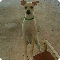Chihuahua/Rat Terrier Mix Puppy for adoption in Austin, Texas - Riley