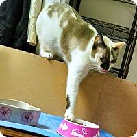 Snowshoe Cat for adoption in Garden City, Michigan - Rose Bud