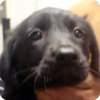 Labrador Retriever Mix Puppy for adoption in Greencastle, North Carolina - Indigo