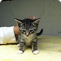 Adopt A Pet :: Mittens - Island Park, NY