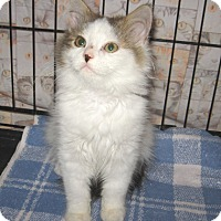 Adopt A Pet :: Maribelle -Adoption Pending! - Colmar, PA