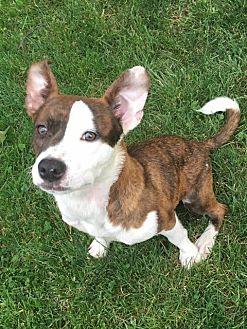 Pit Bull Terrier Dog for adoption in Berea, Ohio - Rey