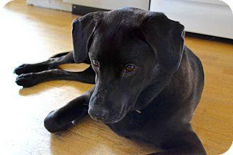 Labrador Retriever Mix Dog for adoption in Sagaponack, New York - Nina