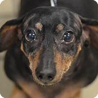 Adopt A Pet :: Rosie Belle - Richardson, TX