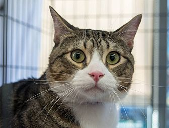 Domestic Shorthair Cat for adoption in New York, New York - Mateo