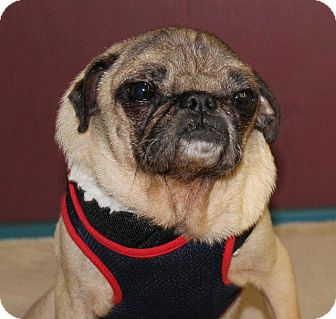 Pug Dog for adoption in Gardena, California - Bones