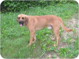 Mastiff/Redbone Coonhound Mix Dog for adoption in McArthur, Ohio - COOPER