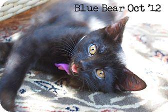 Domestic Shorthair Kitten for adoption in Santa Monica, California - Blue Bear