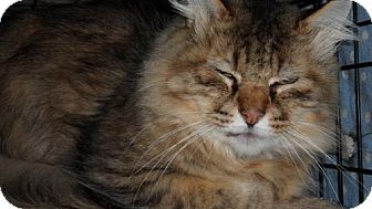 Maine Coon Cat for adoption in Seattle, Washington - Novice