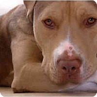 American Pit Bull Terrier/American Pit Bull Terrier Mix Dog for adoption in Burbank, California - Mr. Coffee---HAS VIDEO