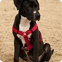 Adopt A Pet :: Happy - Madison, WI