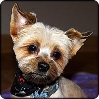 Adopt A Pet :: TEDDY - ADOPTION PENDING - Little Rock, AR