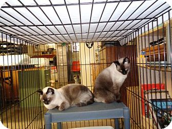 Siamese Cat for adoption in Golden Valley, Arizona - Zuri & Zumi