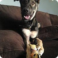 Adopt A Pet :: Steele - Pompano Beach, FL