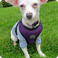 Adopt A Pet :: Snowflake - Gig Harbor, WA