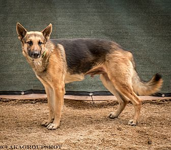 German Shepherd Dog Mix Dog for adoption in Phoenix, Arizona - Jarred