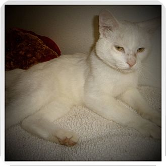 Domestic Shorthair Cat for adoption in Medford, Wisconsin - IRVING