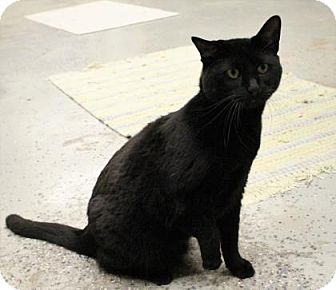 Domestic Shorthair Cat for adoption in West Des Moines, Iowa - Snickerfritz