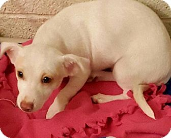 Dachshund/Rat Terrier Mix Puppy for adoption in Las Vegas, Nevada - Penny's Shy Guy